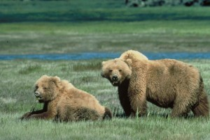grizzly bears, animal, wildlife