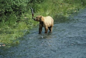 kodiak, brown bear, ursus middendorffi