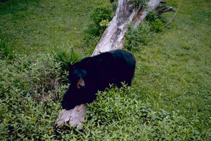 louisiana, black bear