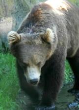 pesantemente, orso