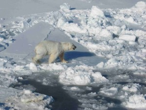 male, polar, white bear, walks, pack, ice, ursus maritimus
