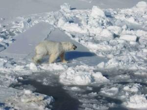 masculino, polar, oso blanco, paseos, paquete, hielo, maritimus del Ursus
