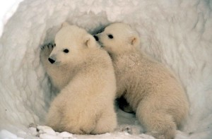 polar, bear, cubs, snow
