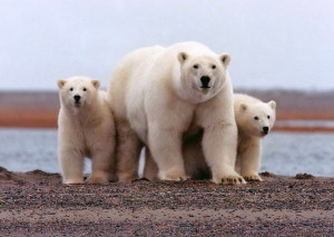 polar, bear, female, young, cubs, ursus maritimus