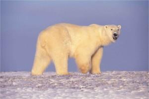 polaire, ours, Arctique, en Alaska