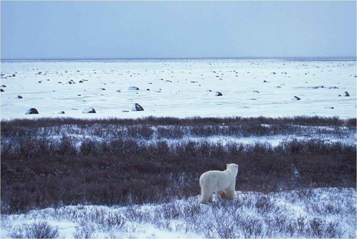 polaire, ours, regarde, barrière, île, arctique, côte, Alaska