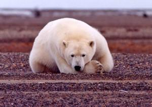 polaire, ours, repos, alerte, ursus maritimus