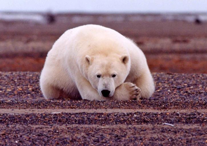 polar, bear, resting, alert, ursus maritimus