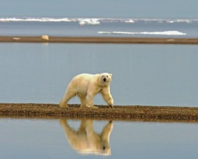 polar, bear, walking, coast