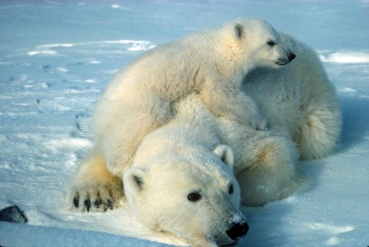 polární, medvěda, medvídě