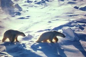 polar, bears