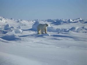 polaire, ours blanc, ursus maritimus