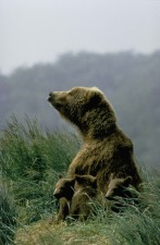 ours, vache, assis, deux, petits jeunes, de près, animal