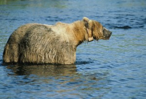 radio, tagged, bear, standing, water, belly
