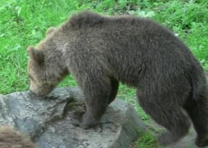 sniffing, bear