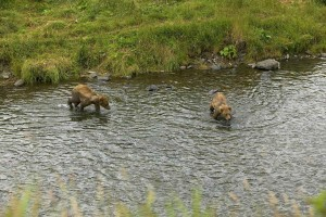 two, brown bear, cubs, river, ursus arctos
