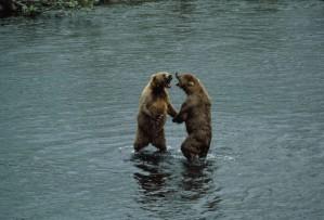 two, brown bears, standing, water, ursus middendorffi
