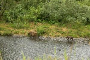 two, brown bears, walk, river