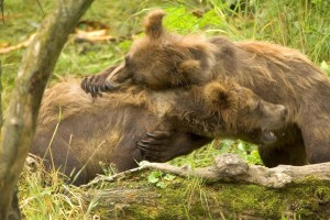 two, grizzly bear, cubs, mammals, ursus arctos