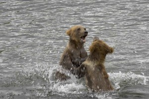 two, grizzly, brown bear, cubs, play