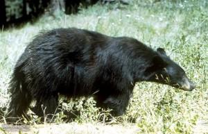 ursus Americanus, black bear