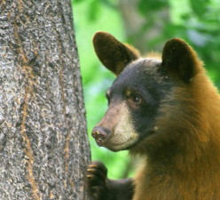 ursus Americanus, black bear, animal