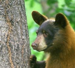 ursus americanus, l'ours noir, animal