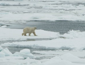 Ursus maritimus, blanco, polar, oso, varón