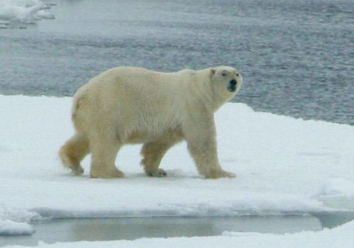 white, polar, bear, animal, mammal, ursus maritimus