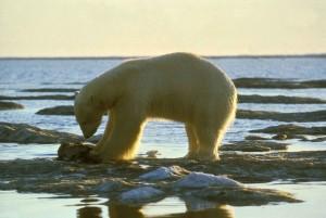 blanco, polar, oso, nieve, alimentación, Ursus maritimus
