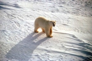 white, polar, bear, snow, ursus maritimus