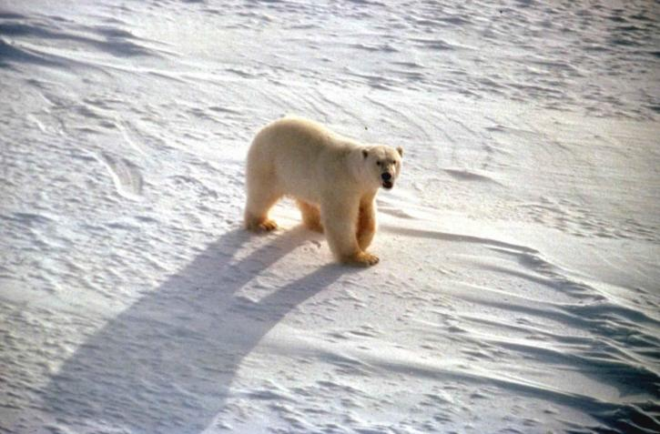 white, polar, bear, snow, ursus maritimus