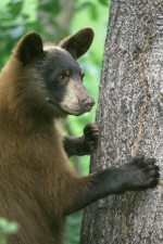 young, black bear, standing, front, legs, grasping, tree, trunk