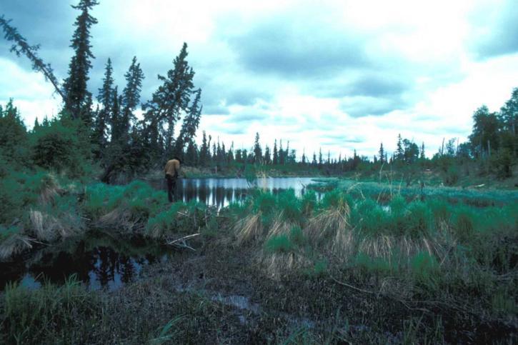 beaver, dam, lake