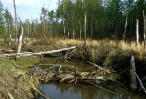 castor, barrage, rivière