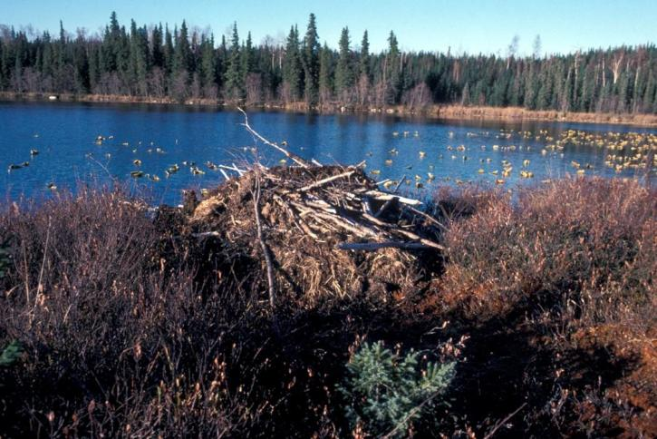 beaver, lodge, martin, lake