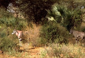 beissa, Oryx