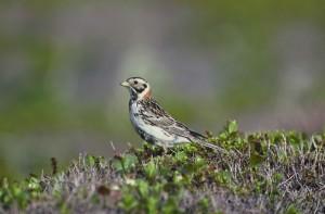up-close, lapland, longspur, bird