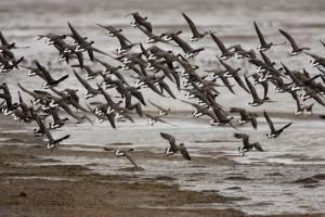 troupeau, oiseaux, préparer, atterrissage