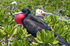 male, frigatebird, displays, vegetation