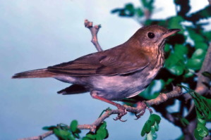 veery, bird, catharus, fuscescens, perching, branch