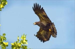 western, meadowlark, bird, sturnella, neglecta, looks, resting, ground