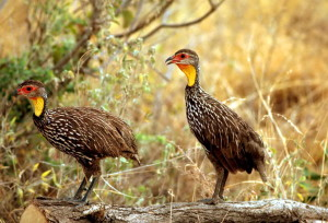 Africaine, jaune, col, spurfowl, jaune, col, francolin, oiseaux, Pternistis, leucoscepus, famille, Phasianidae