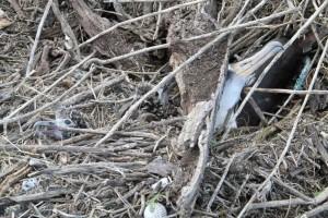 albatros, adulte, deux, poussins, à découvert, vivant, tsunami, mathématiques