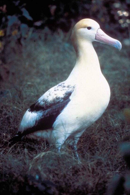 信天翁, 鸟, steiller, 信天翁, diomedea albatrus