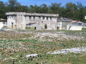 albatros, nid, zone, entourant, historique, bâtiment, sable, île