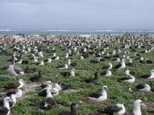 Albatross, zagnieżdżanie