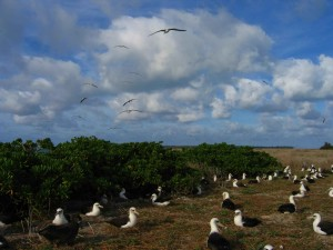 albatross, nesting, midway, atoll, wilderness, refuge