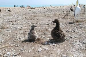 zwart, footed, albatross, kuiken, korte staart, albatross, kuiken, phoebastria albatrus