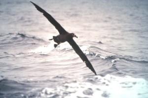 black, footed, albatross, flight, bird